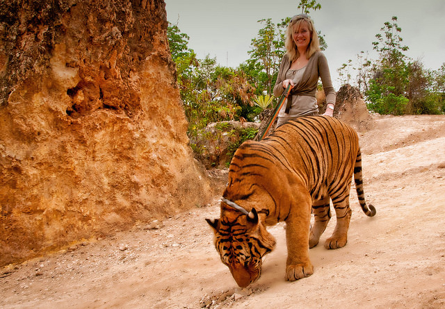 Блондинка ведёт тигра на поводке.