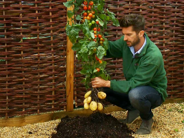 Tanaman Gabungan Tomat dan Kentang