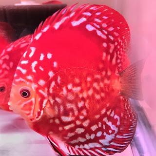Jenis dan Harga Ikan Discus Rafflesia