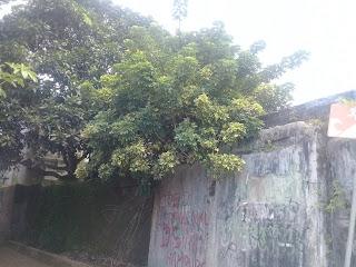 tanaman walisongo