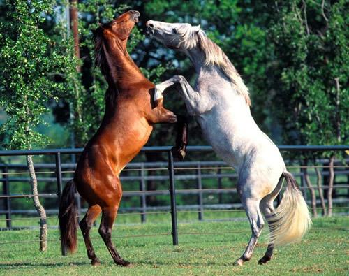 """Até meados do século XX, exércitos usavam cavalos de forma intensa em guerras: soldados ainda chamam o grupo de máquinas que agora tomou o lugar dos cavalos no campo de batalha de """"unidades de cavalaria""""."""