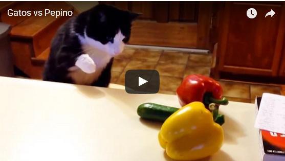 Vídeos de gatos: Gatos contra Pepinos