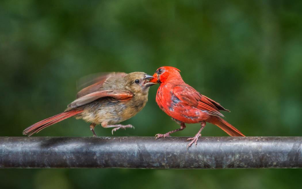 Fledgling cardinal feeding