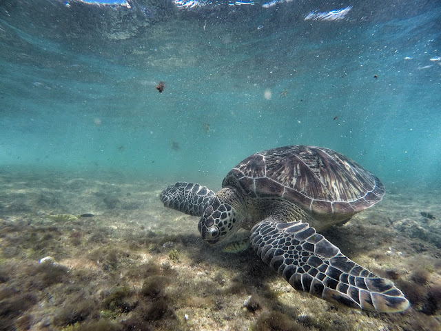 turtles eating grass on apo island
