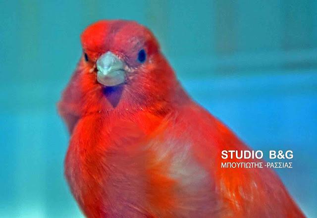 """Αργολίδα: Πανέμορφα πουλιά στην """"5η Έκθεση – Διαγωνισμό πτηνών συντροφιάς"""" στο Άργος (βίντεο)"""
