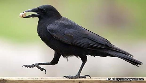 Sains Dan Al Qur An Membuktikan Burung Gagak Haiwan Paling Bijak Sentiasapanas