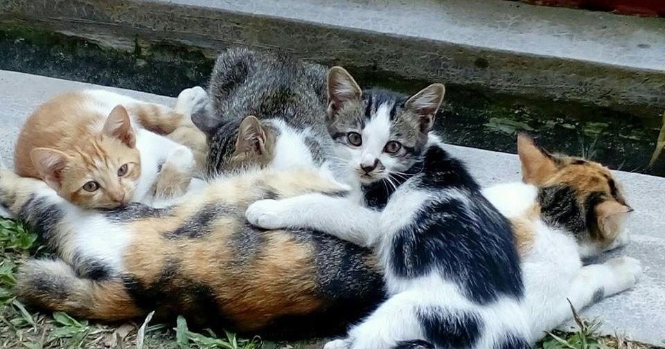 Kucing Utara Kenapa Anak Kucing Mudah Cirit