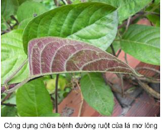http://www.chuaviemdaudaday.com/2015/04/cong-dung-chua-benh-duong-ruot-cua-la-mo-long.html