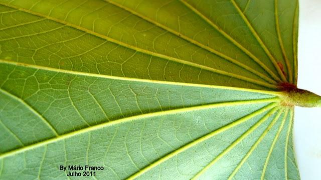 Folha Bauhinia variegata