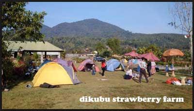 tempat camping dikubu strawberry farm