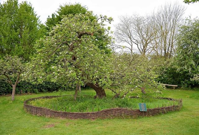 Pohon Apel Newton Asli di Lincolnshire
