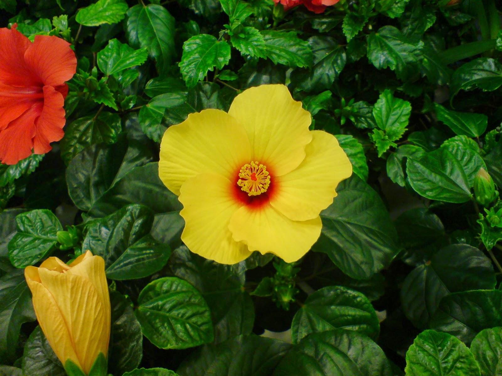 Hawaiirose, Hibiscus rosa-sinensis