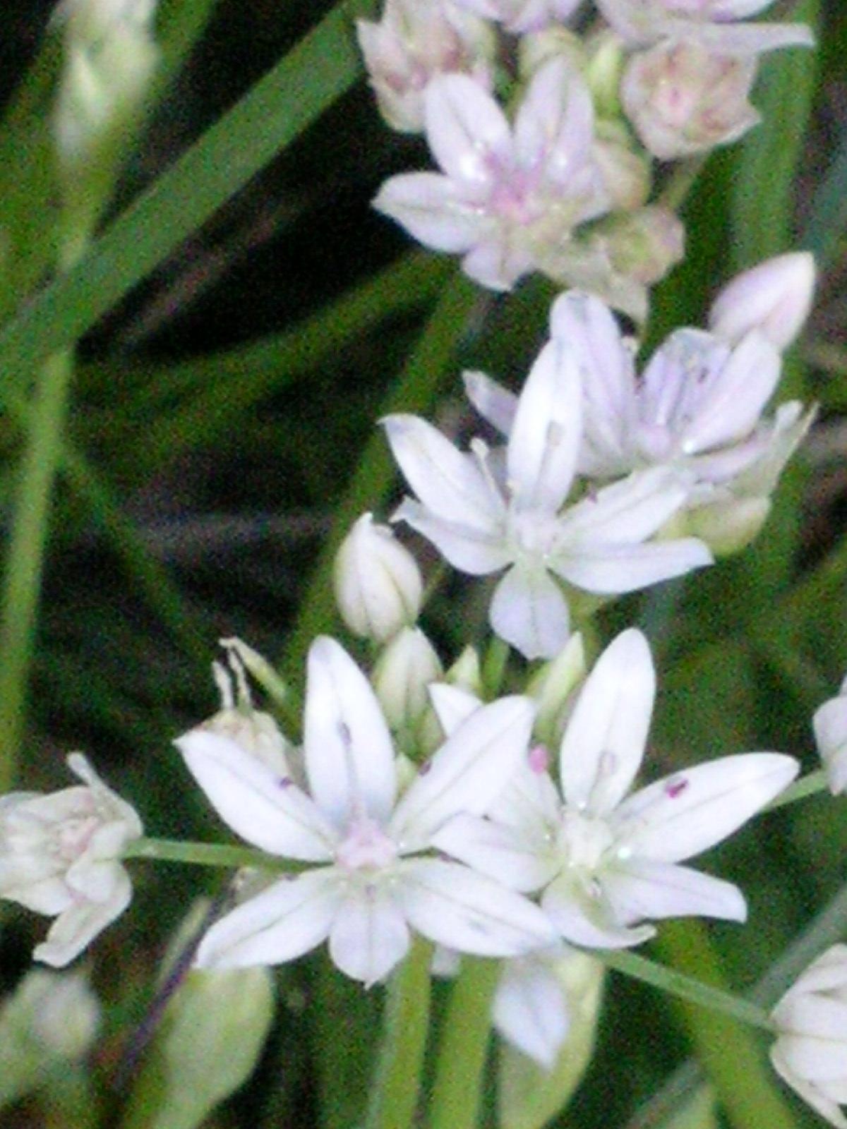 Berkeley Butterfly Blog Allium Hyalinum Paper Flowered Onion