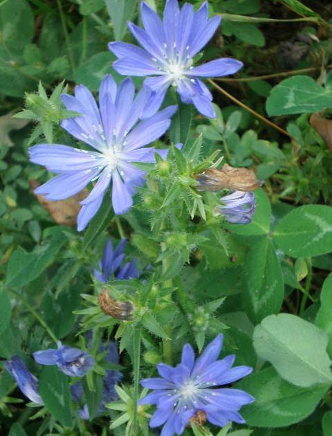 Chicory At Health Food Stores