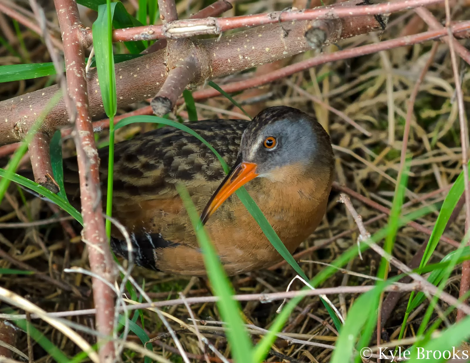 Virginia Rail Pickaway County