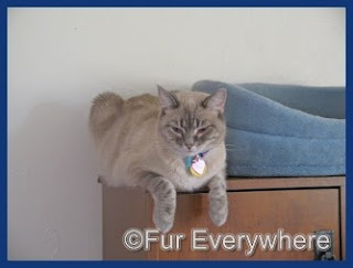 Milita on top of my desk next to her favorite bed. She is about three years old in this photo.