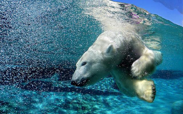 Foto ijsbeer duikt onderwater duikt