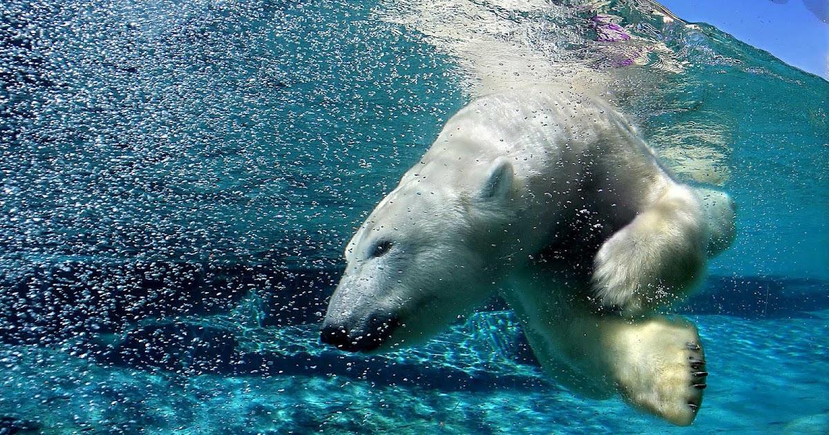 Ijsbeer duikt onderwater  Mooie Leuke Achtergronden Voor