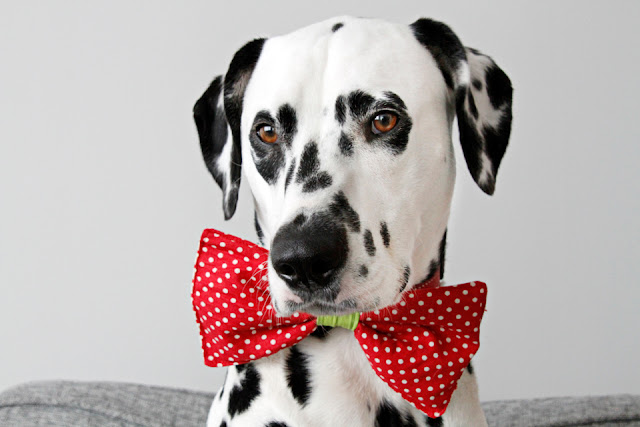 Dalmatian dog wearing a polka dot bow tie