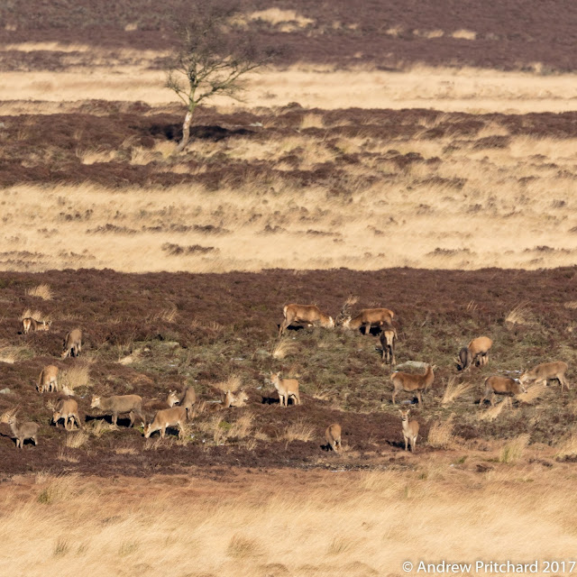 Two stags in the herd locking antlers, are they rutting or just practicing?