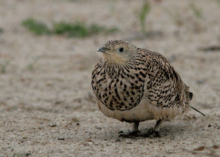 Chesnut-bellied Sandgrouse, Ranthambore
