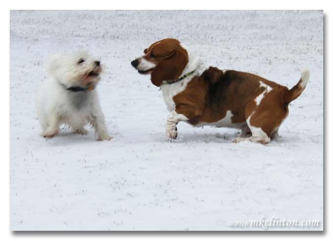 Bentley Basset and Pierre Westie playing in the snow
