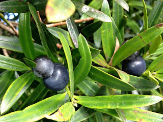 Illawarra Plum Fruit Pictures