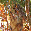 Northern Saw-whet Owl at the Idaho Botanical Gardens