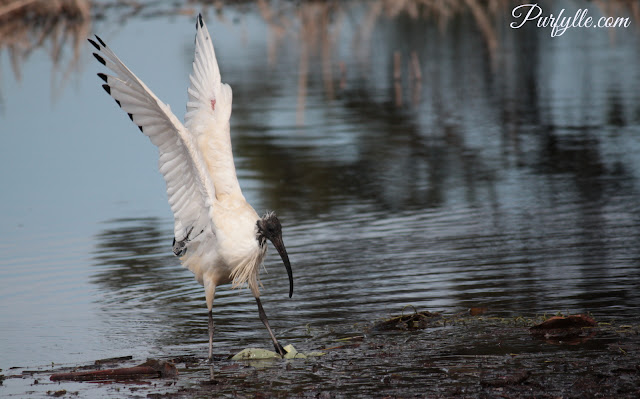 Australian White Ibis with wings fully extended