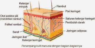 Bagian-bagian kulit manusia