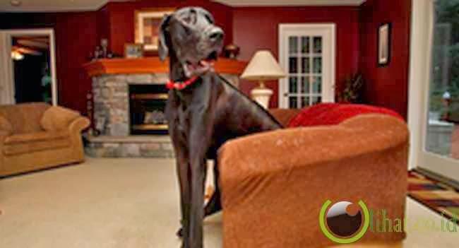 Zeus: Anjing 111 Cm