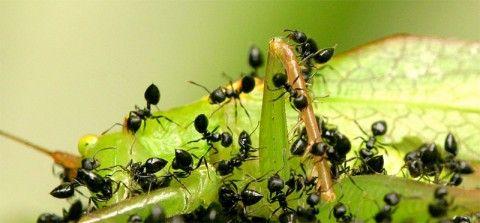 repeler hormigas con limón