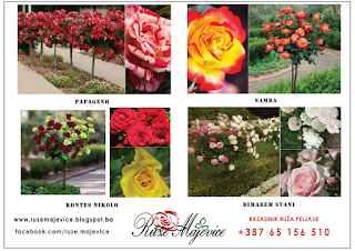 STABLAŠISE RUŽE sadnice