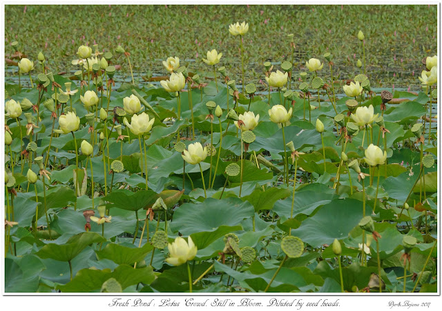 Fresh Pond: Lotus Crowd. Still in Bloom. Diluted by seed heads.