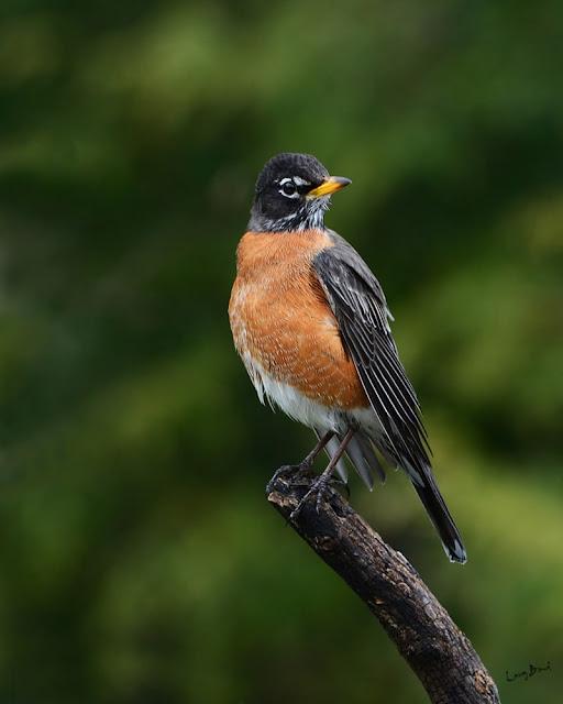 american robin photos hd