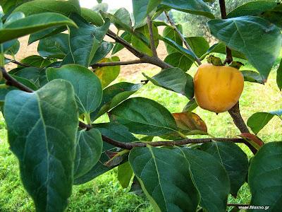 Λωτός: σπορά φύτεμα καλλιέργεια