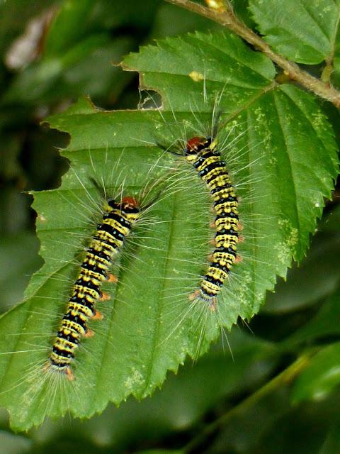Trabala pallida caterpillar