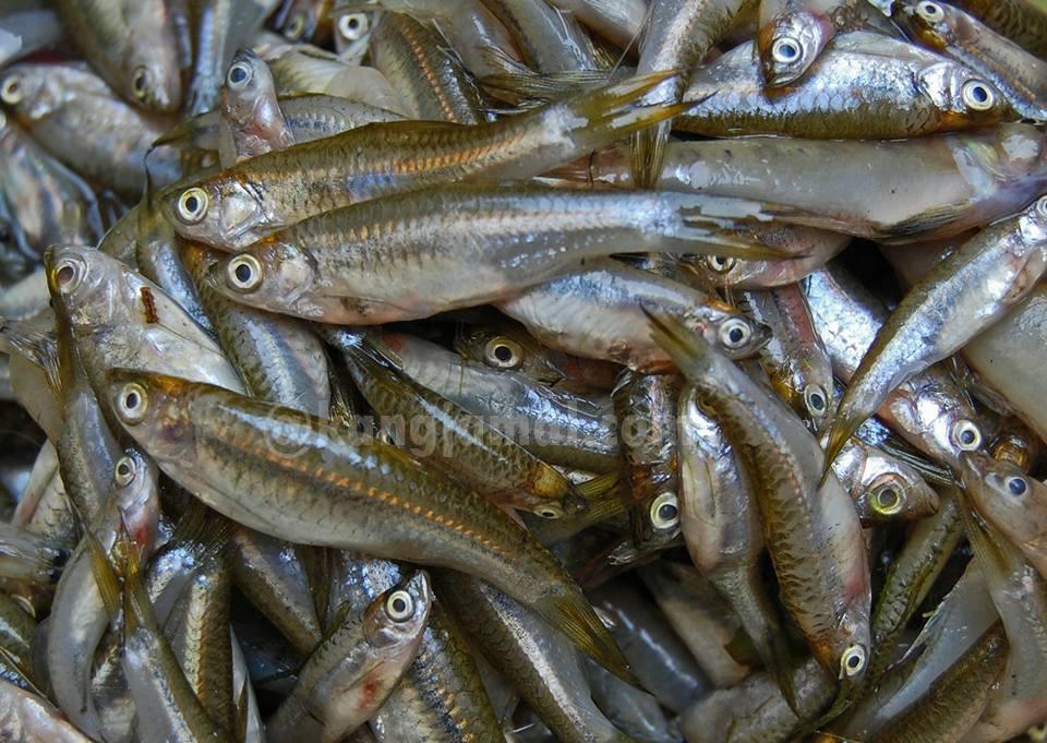 Inilah Makanan Ikan Gabus Peliharaan Agar Cepat Besar Dan Lekas Panen Kangjamal Com