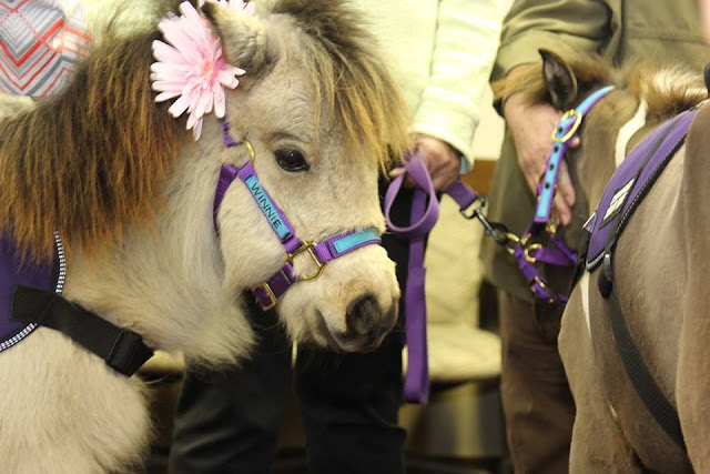 Winnie the mini horse a therapy horse with Heartland Mini Hoofs