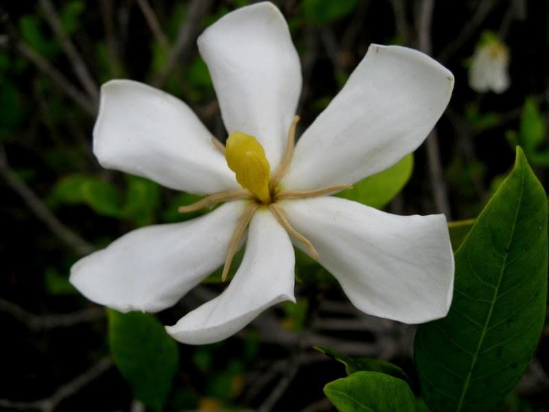 拈花惹草集: 梔子花 (Gardenia)