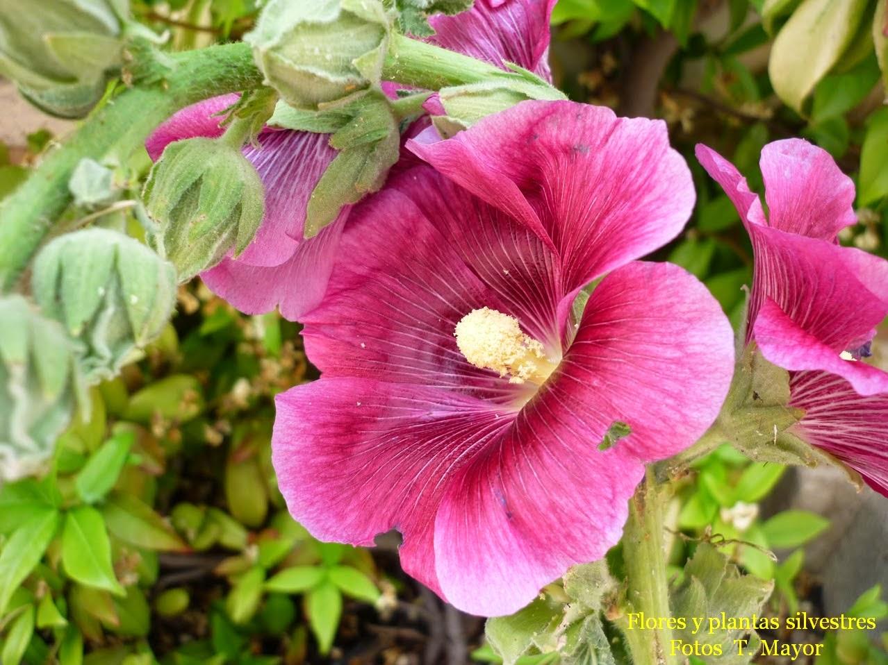 Flores y plantas silvestres althaea rosea malva real for Malvarrosa planta