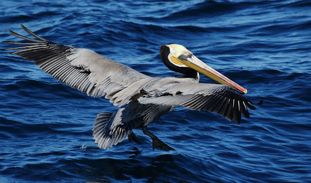 Brown Pelican off San Diego. January 1, 2019. Greg Gillson.