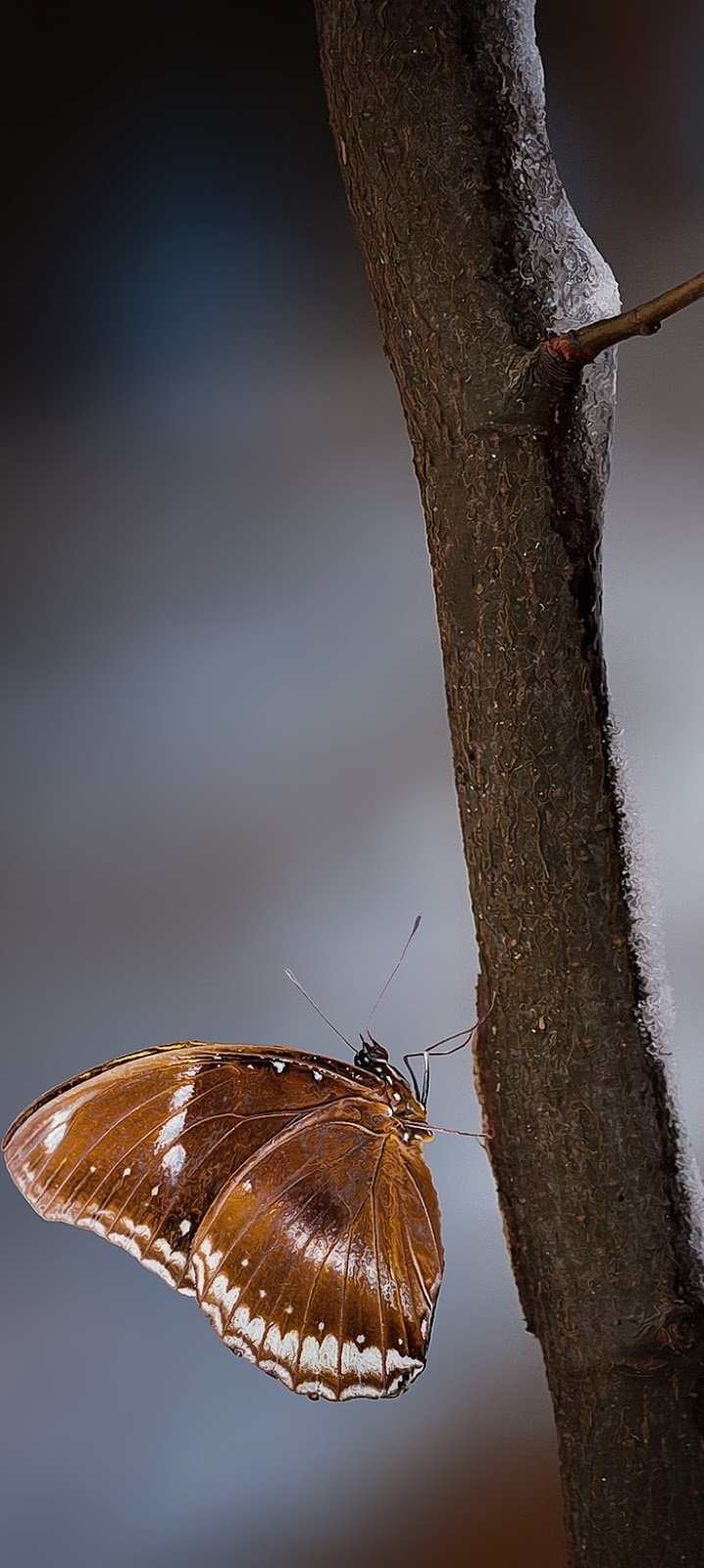 A brown butterfly climbing a branch.