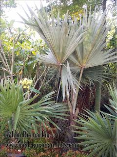Jual Pohon Palem Bismarkia Silver Murah |  Palem Bismark
