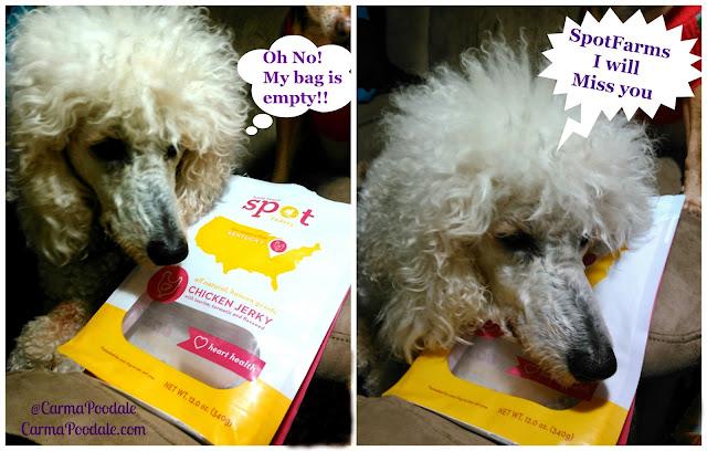 Poodle loving on empty bag of SpotFarms treats