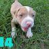 เปิดจองลูกสุนัข พิทบูล เรดโนส มี6ตัวค่ะ อยู่ จ.อุดรธานี (ปิดการขายแล้ว)