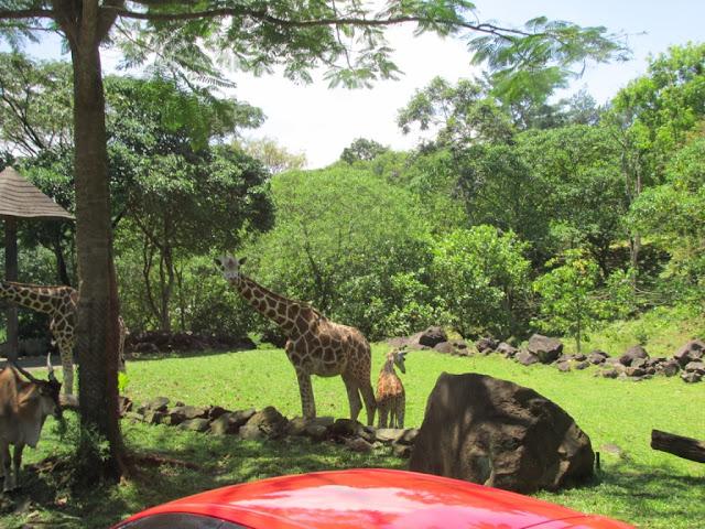 jerapah di Taman Safari Prigen Pasuruan