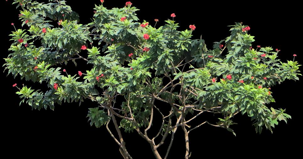 tropical plant pictures  jatropha integerrima  spicy jatropha