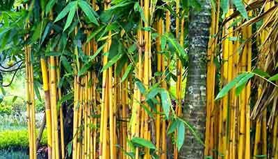 Keistimewaan Bambu Kuning Yang Konon Sangat Ampuh Melawan Ilmu Hitam, Ungkap Misterinya..