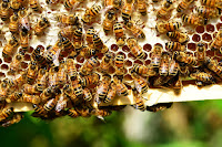 honey-bees-bees-hive-bee-hive-